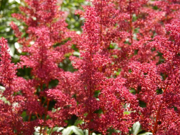 Astilbe Path Image