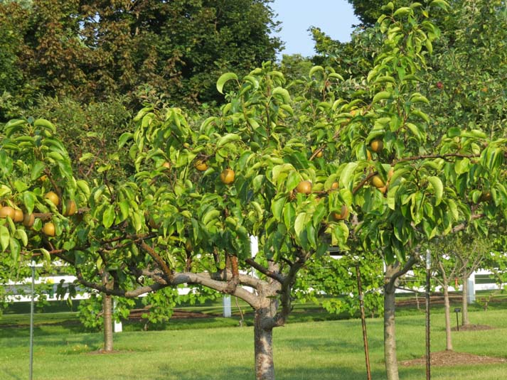 Fruit Orchards Image
