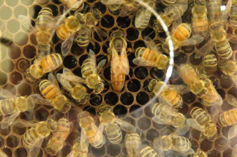 Honey Bees Image