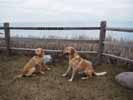 Buddy and Jayke, The Farm Dogs Image