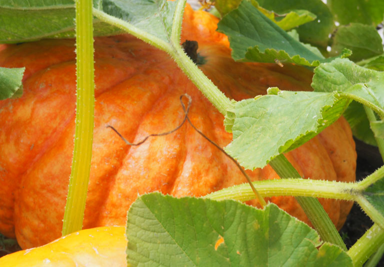 Pumpkin Patch Image