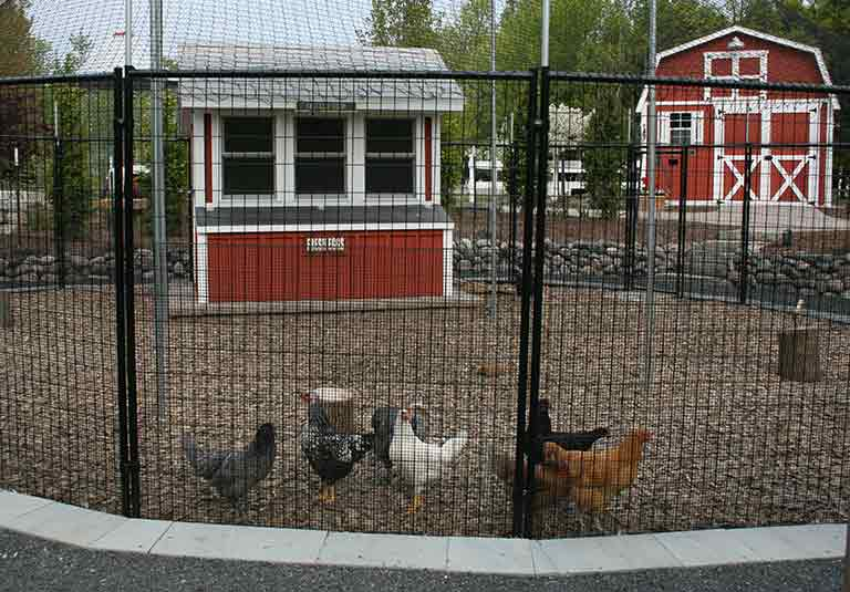 Chickens Image