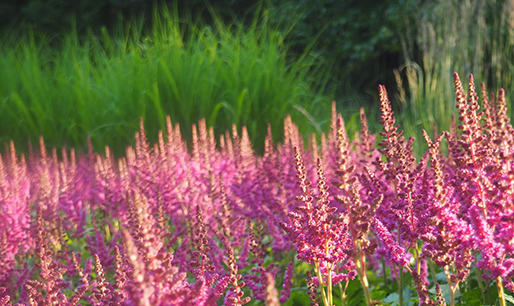 Long Blooming Astilbe Slider Image