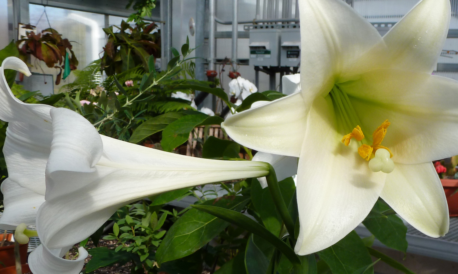 Easter lily facts and care the christopher farm gardens history care of the easter lily izmirmasajfo